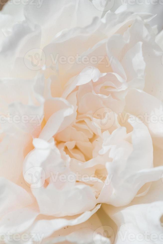 flor de peônia foto