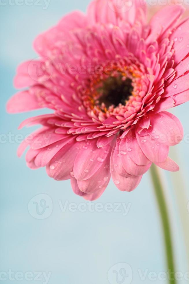 gerbera flores foto