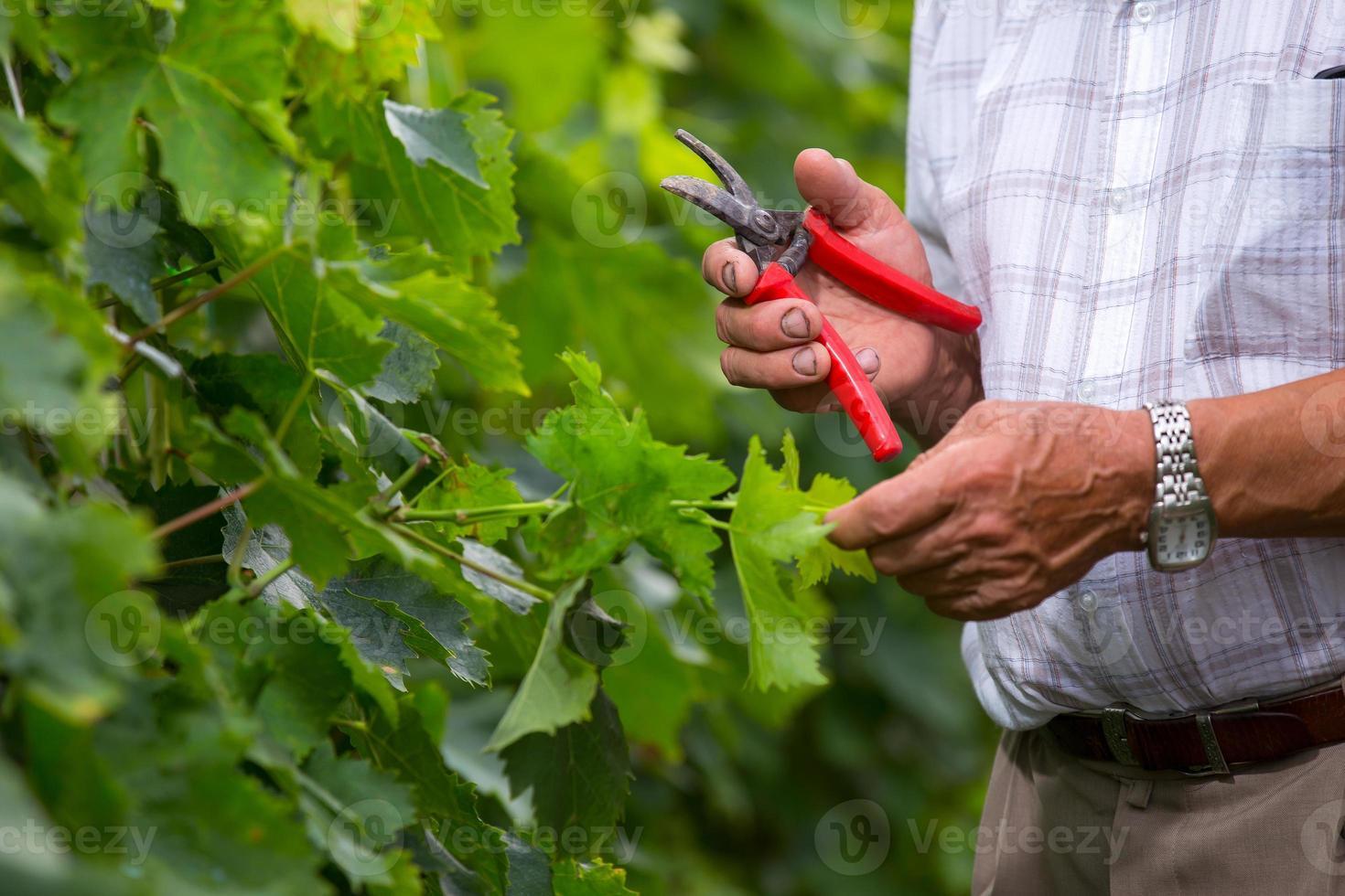 viticultor sênior foto