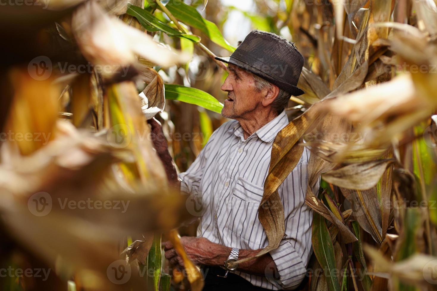 velho na colheita de milho foto