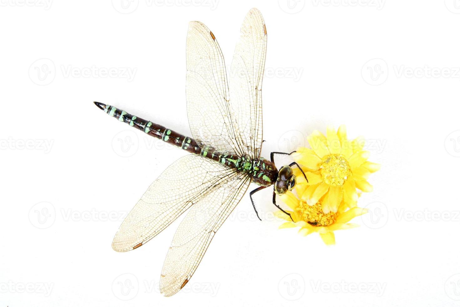 libélula close-up foto
