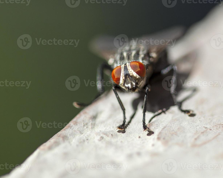 mosca doméstica em uma borda foto