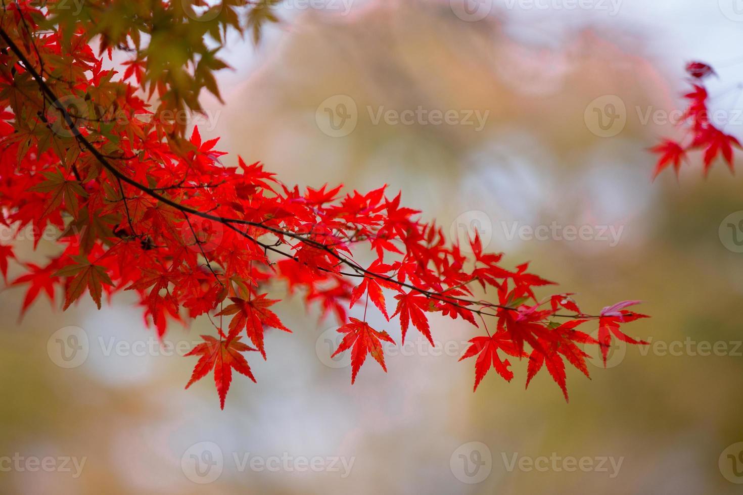 folhas de bordo de outono no japão foto
