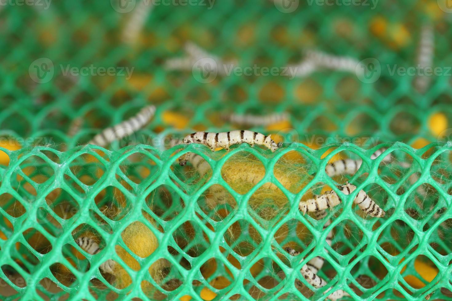 close-up de bicho da seda foto