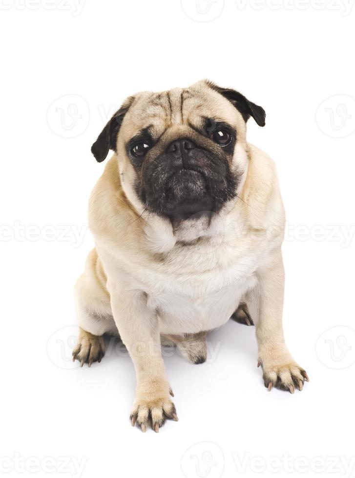 close-up emocional pug foto