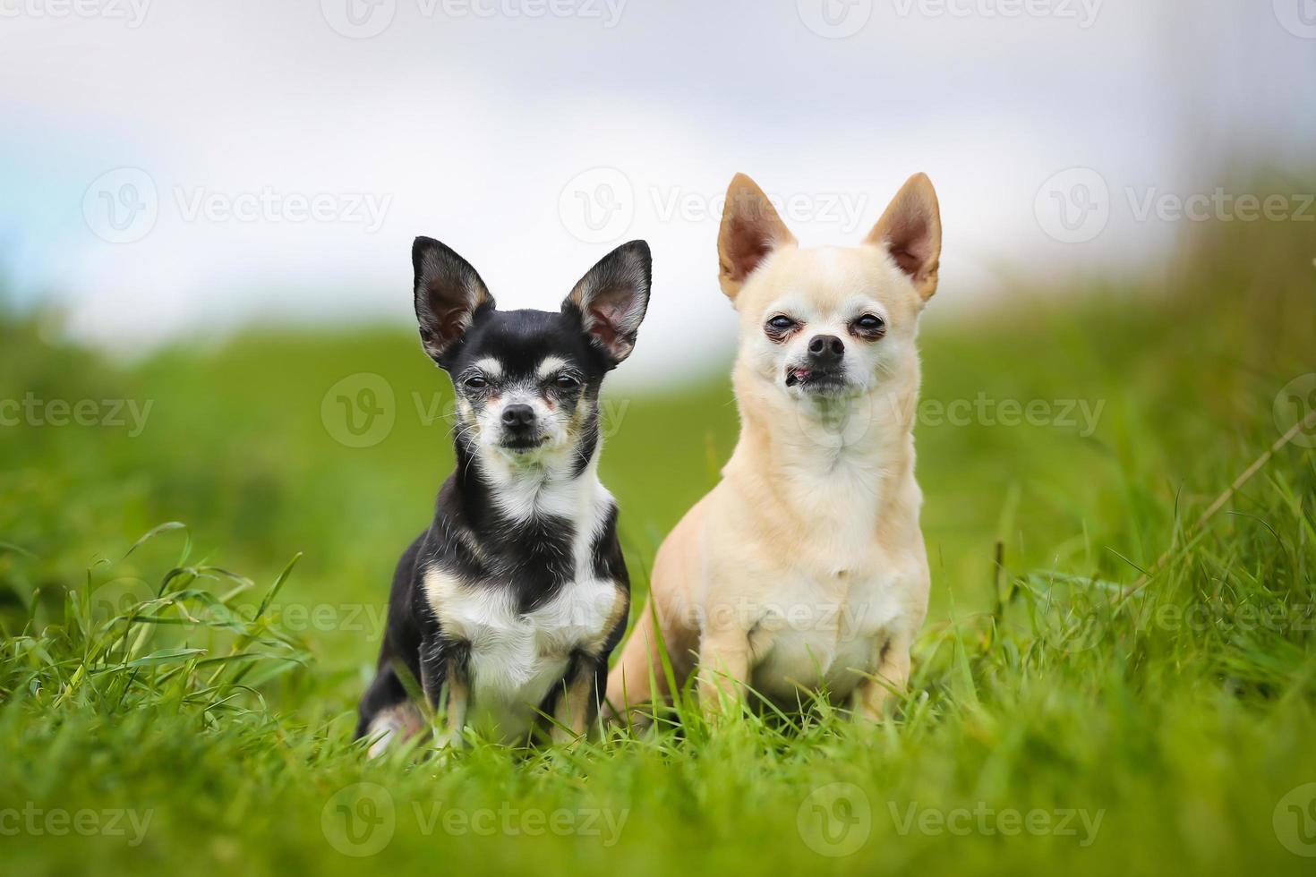 cães de raça pura foto
