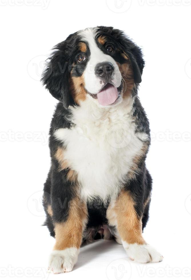 filhote de cachorro bernese moutain cão foto