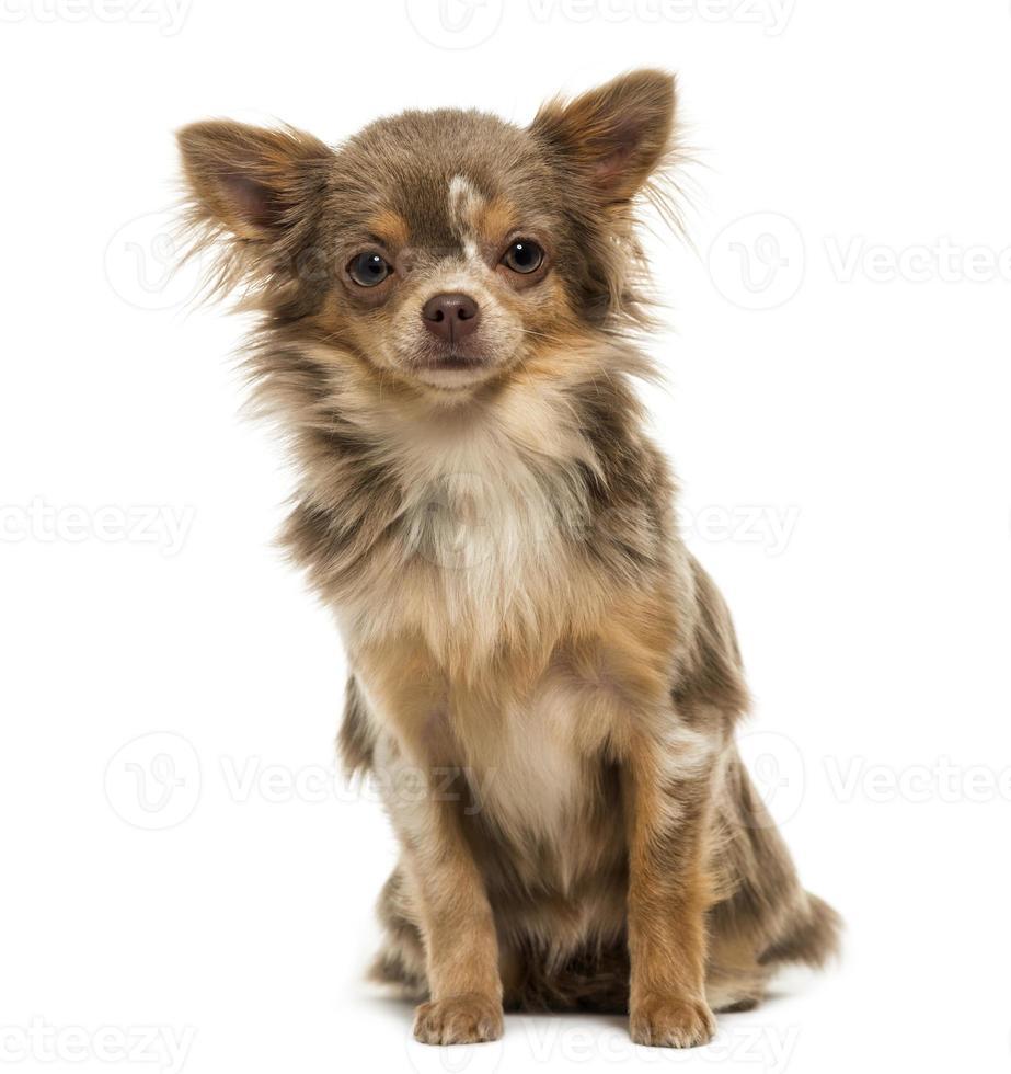 vista frontal de um cachorro chihuahua, olhando para a câmera foto