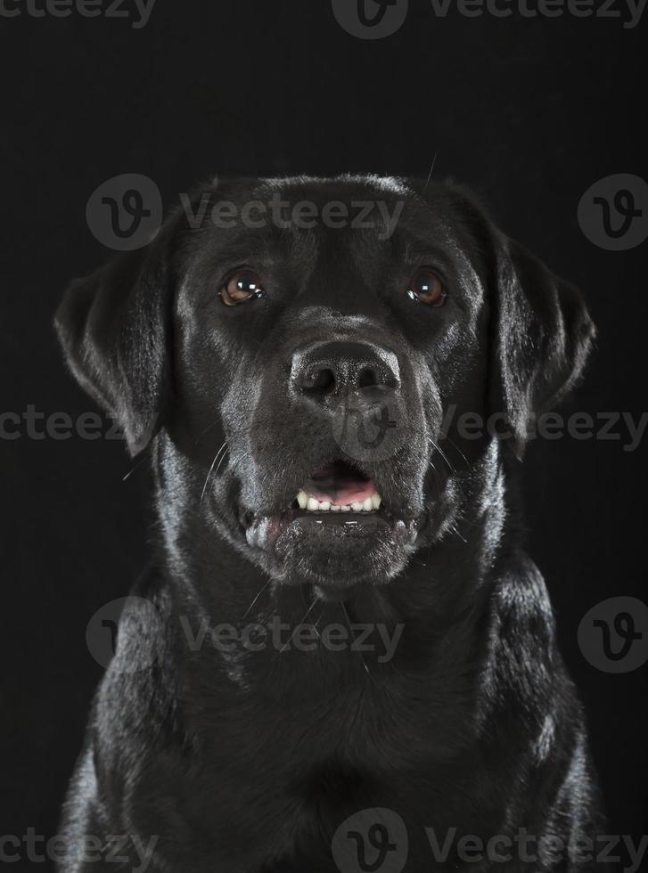 labrador retriever preto foto