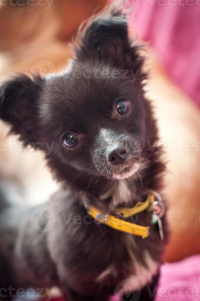 retrato de chihuahua bonito foto