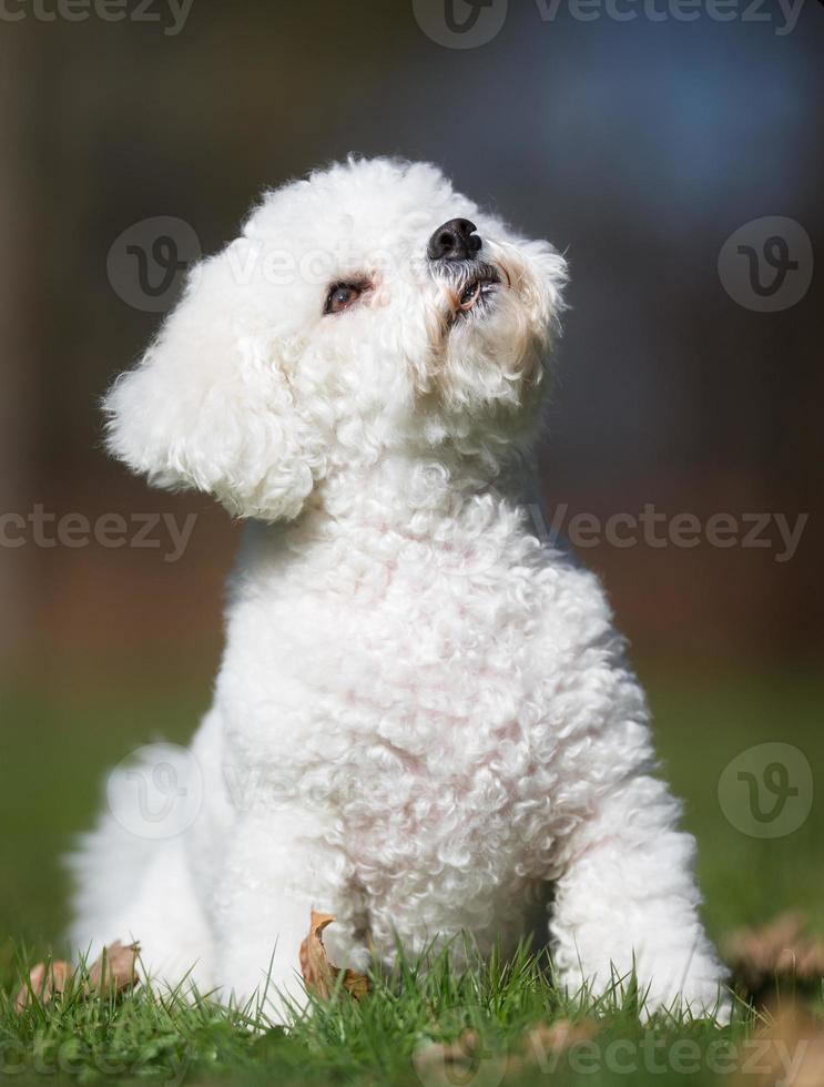 cão de bichon frise ao ar livre na natureza foto