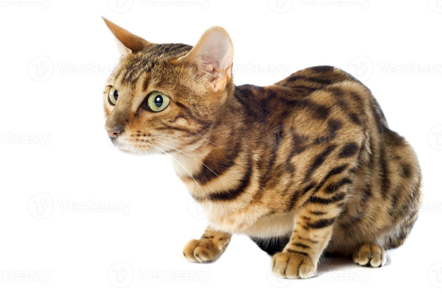 gato de bengala foto