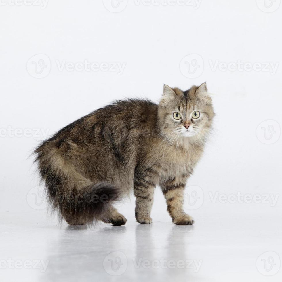 retrato de um gato de raça pura de cabelos compridos, olhando para a câmera foto