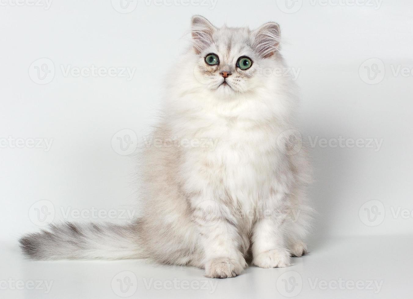 gatinho persa branco (gato chinchila) foto
