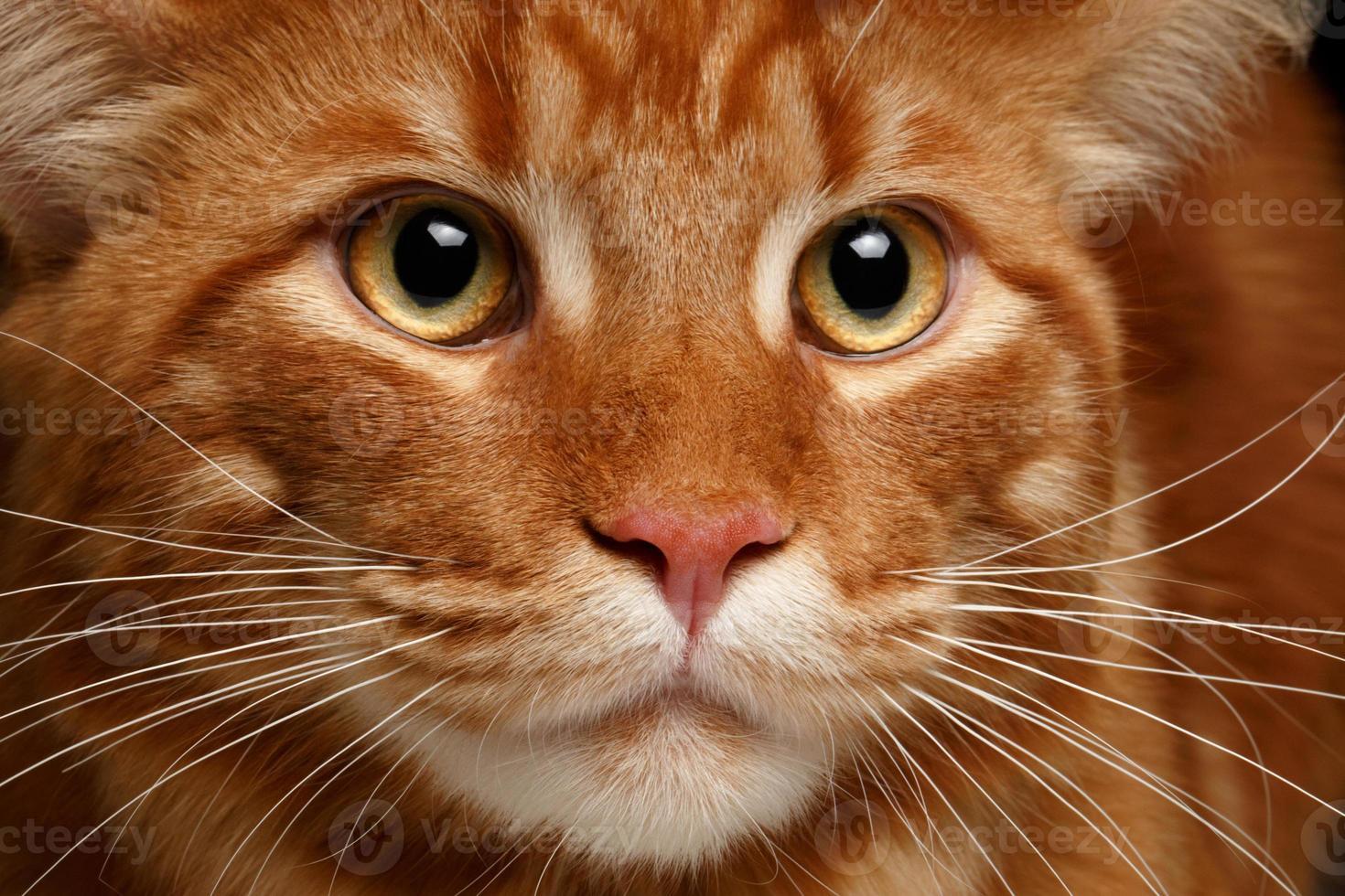 close-up vermelho maine coon foto