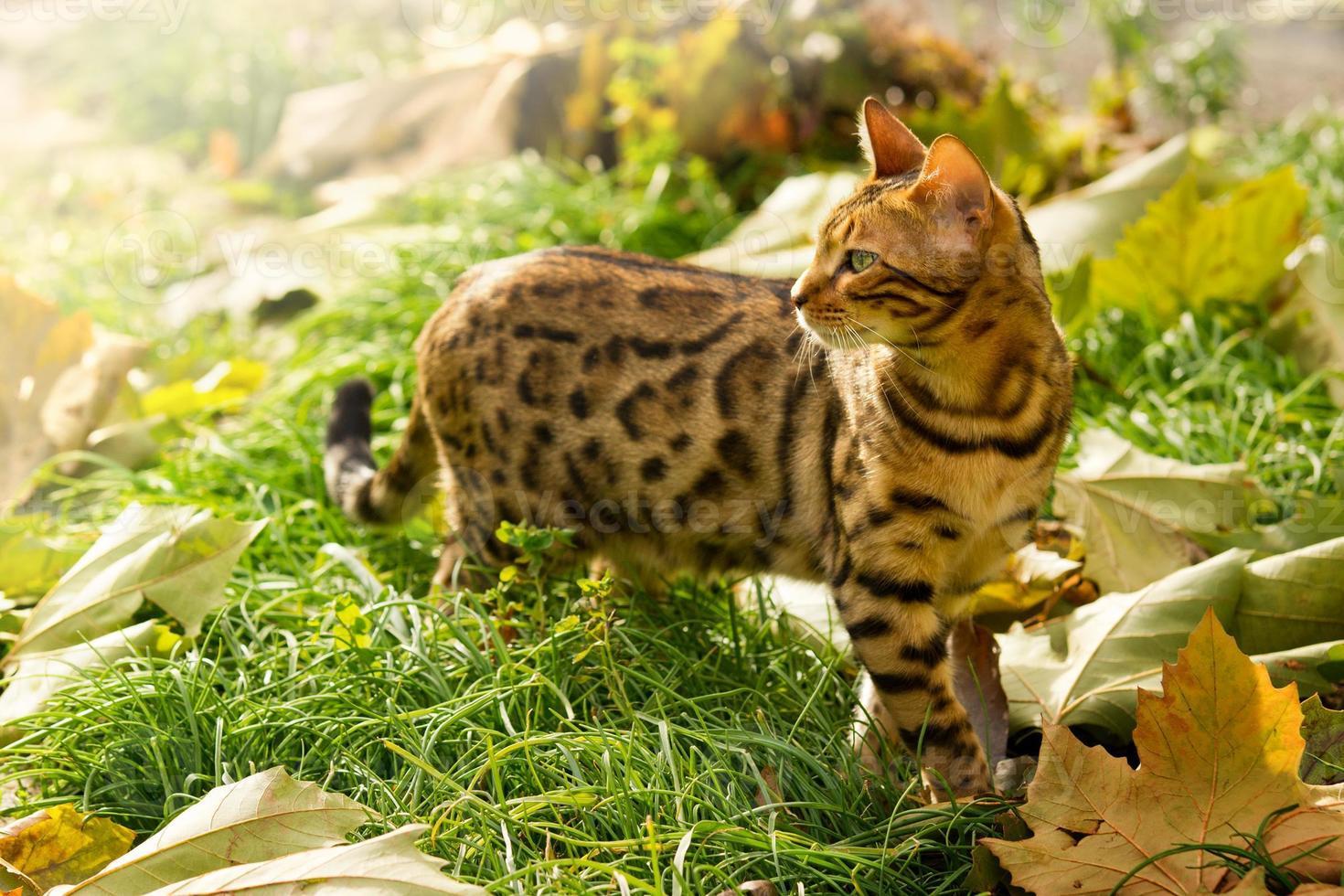 gato de Bengala brincando no jardim foto