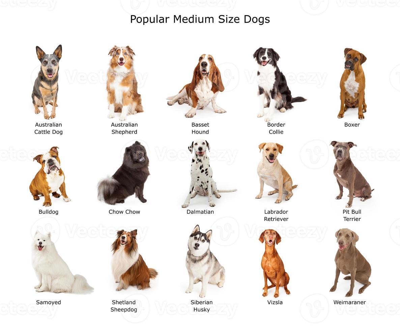 coleção de cães de tamanho médio populares foto