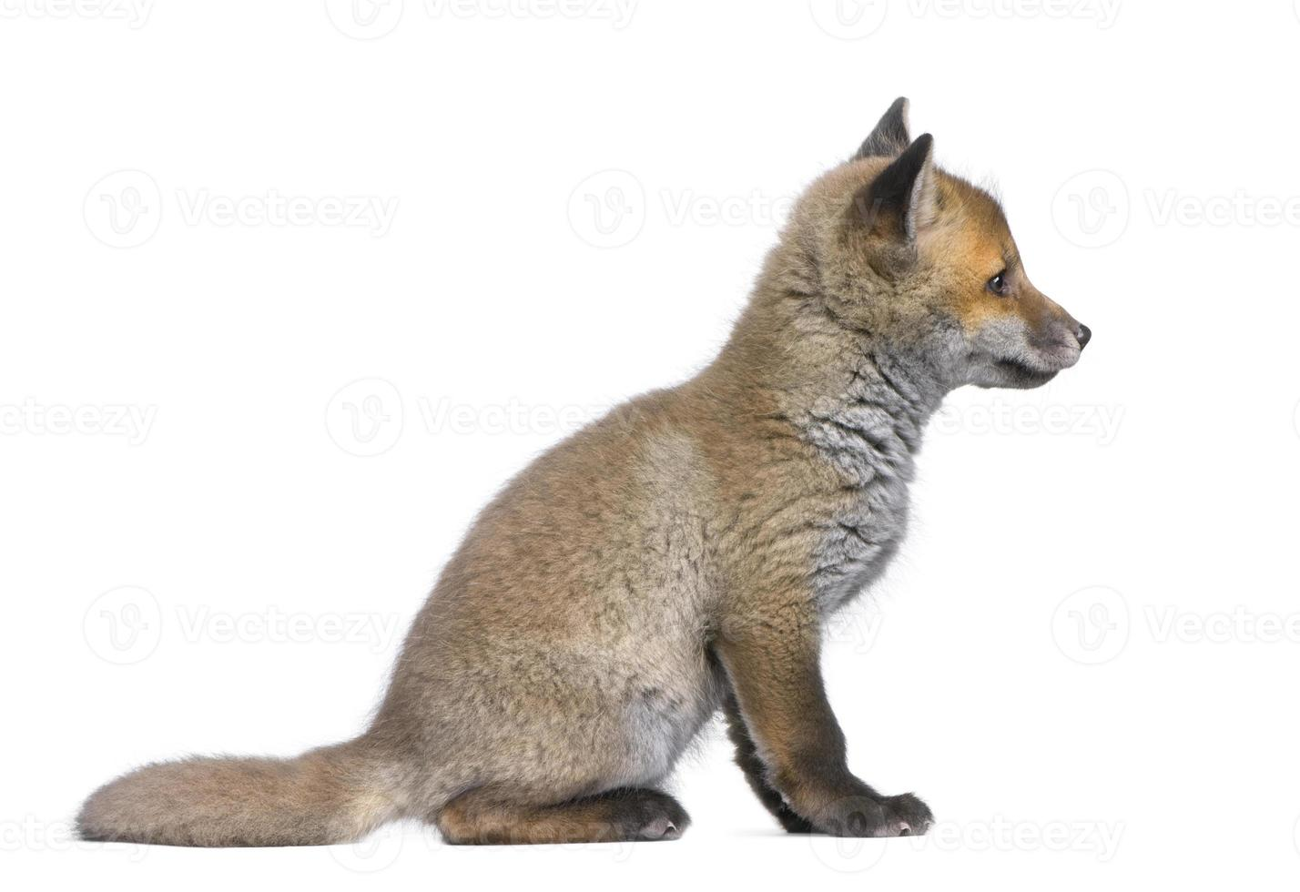 vista lateral de um filhote de raposa vermelha (6 semanas de idade) foto