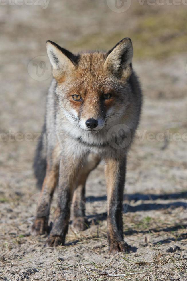raposa vermelha (amsterdamse waterleidingduinen, países baixos) foto