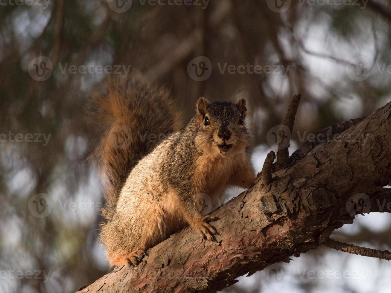 esquilo sorridente foto