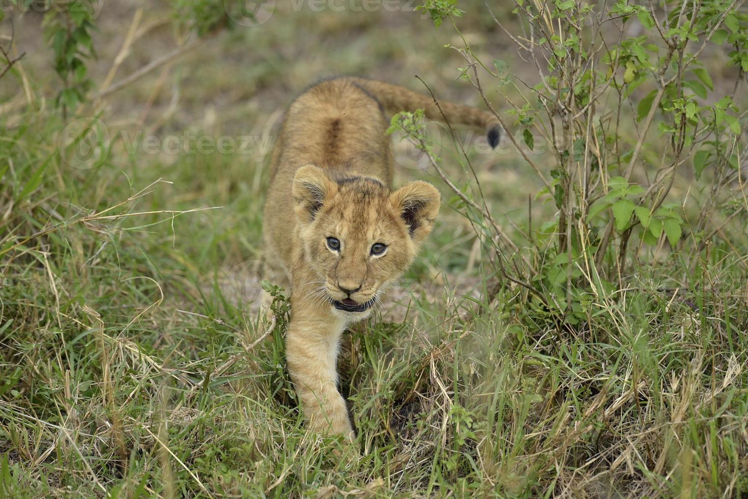 leões brincalhão foto