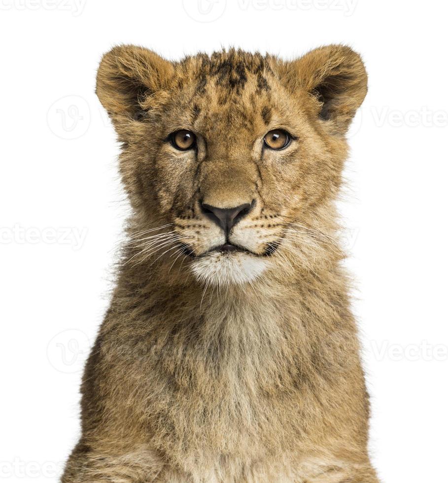 close-up de um filhote de leão, olhando para a câmera foto