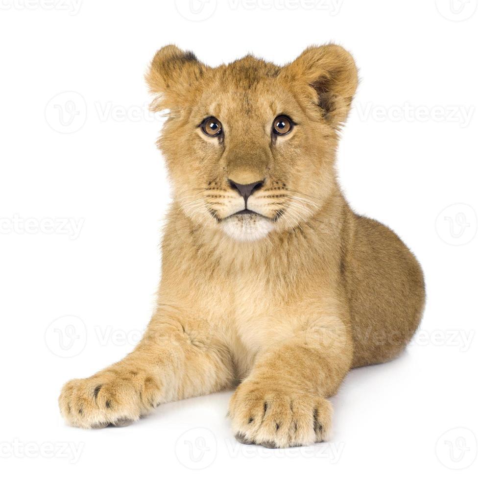 filhote de leão (6 meses) foto