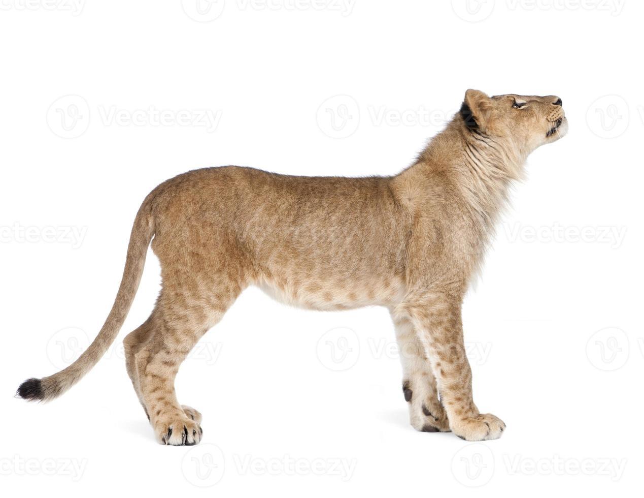 filhote de leão 8 meses foto