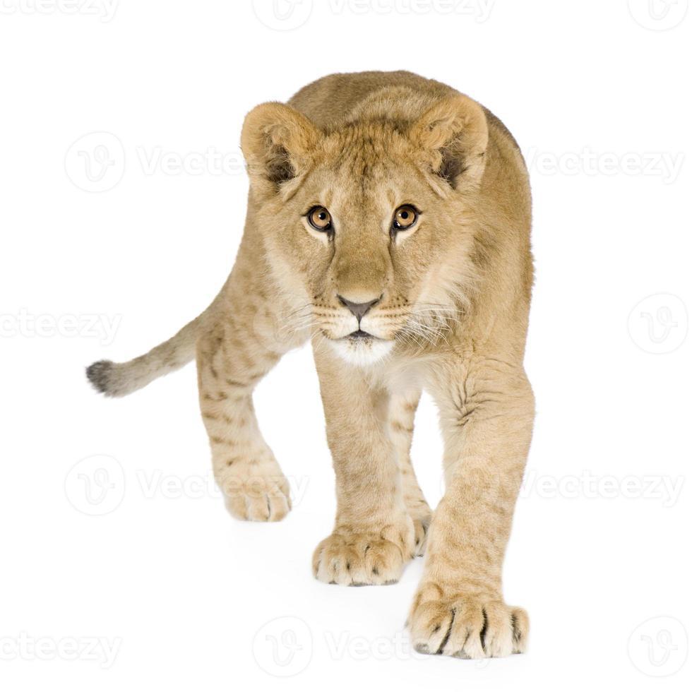 filhote de leão (8 meses) foto