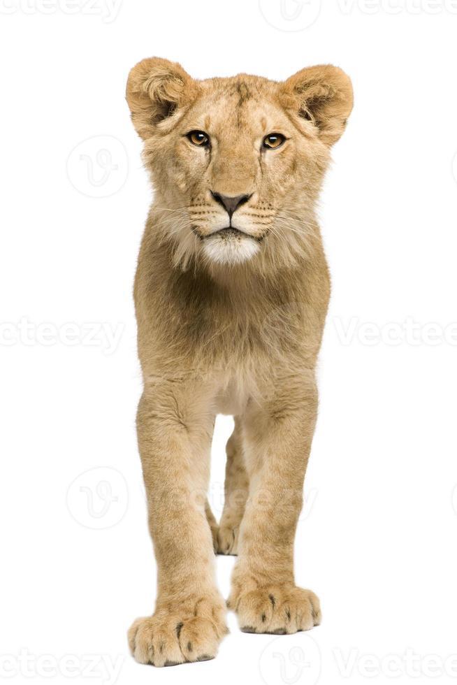 filhote de leão (9 meses) foto