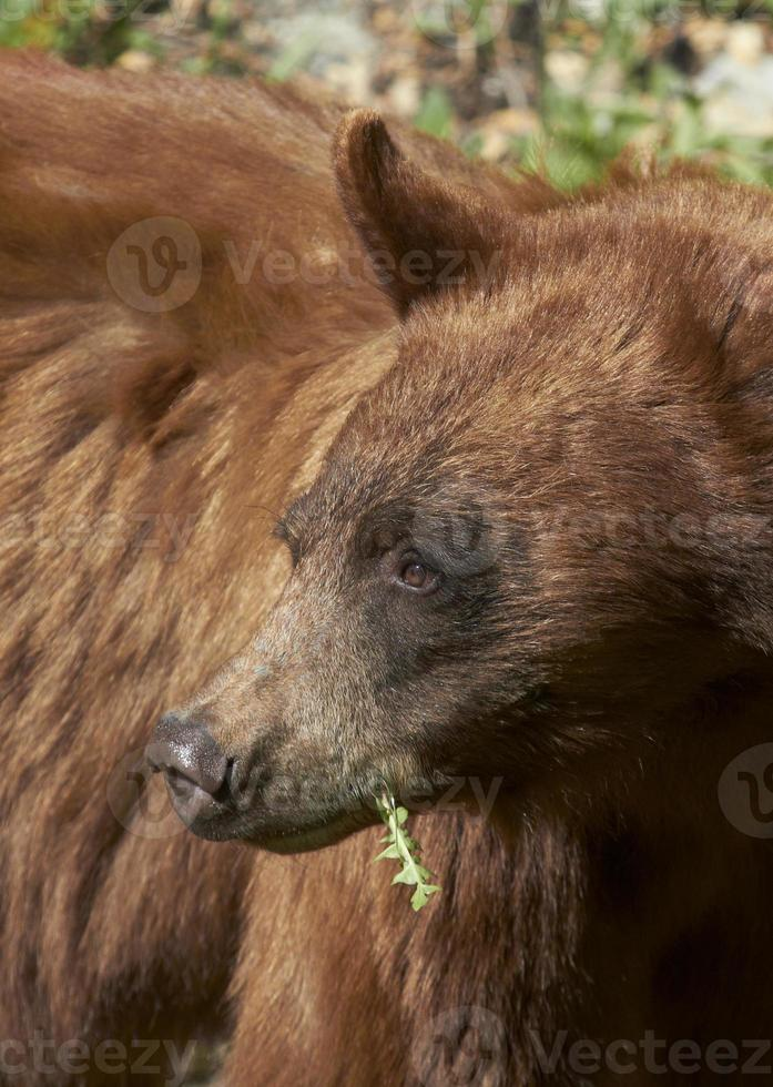 retrato de urso preto foto