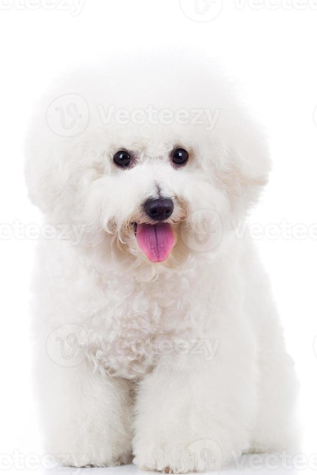 sentado bichon frise cachorro foto