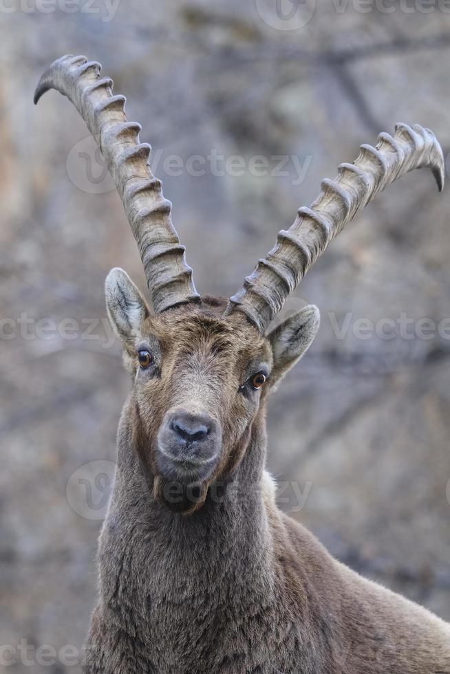 ibex alpino - steinbock foto