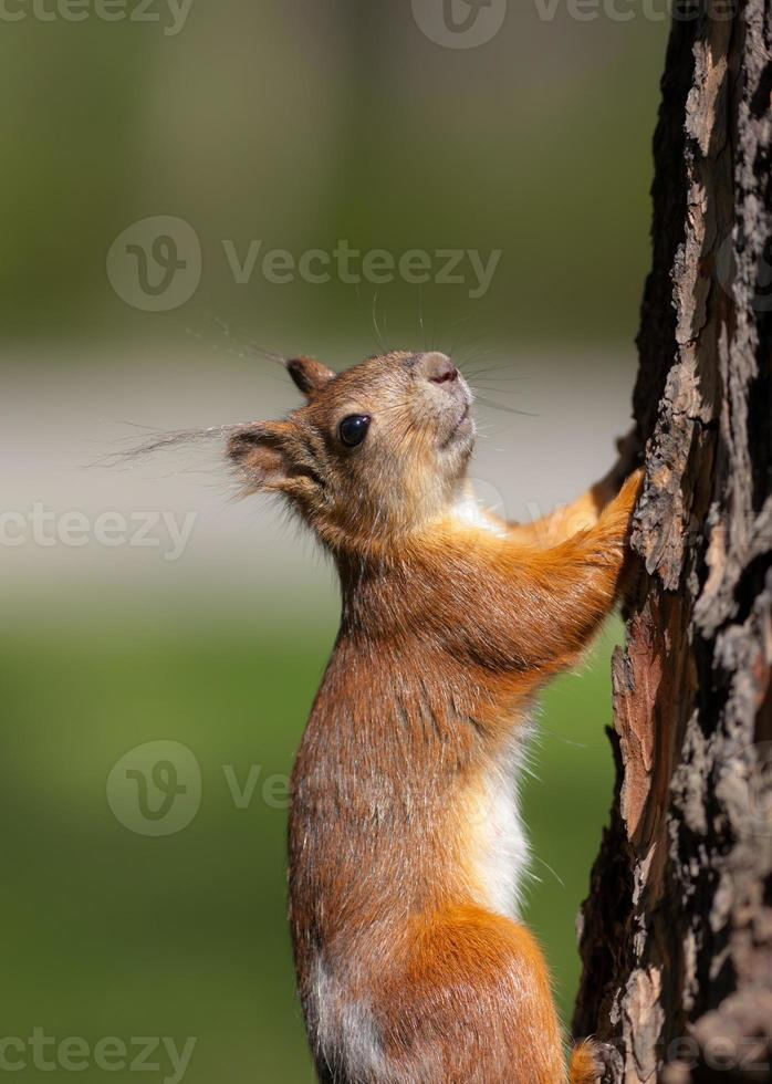 o esquilo sobe foto