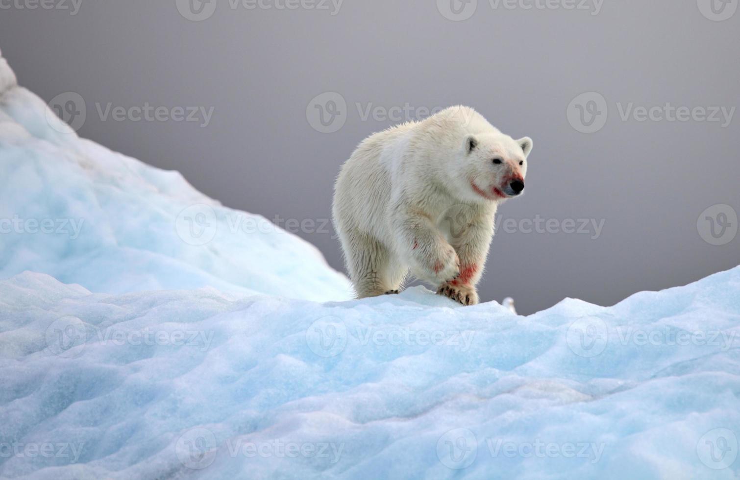 Urso polar foto