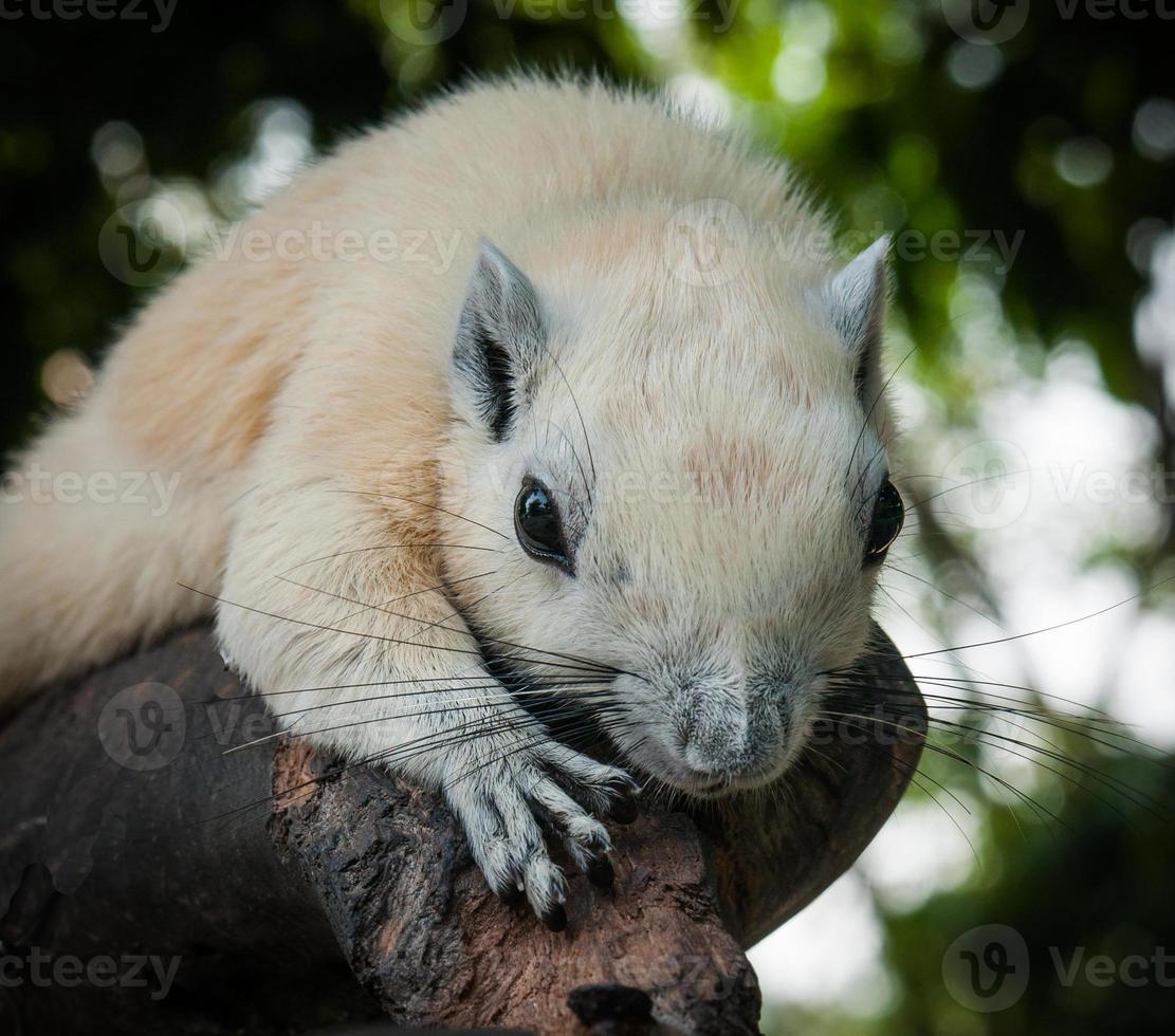 esquilo branco, tailândia foto