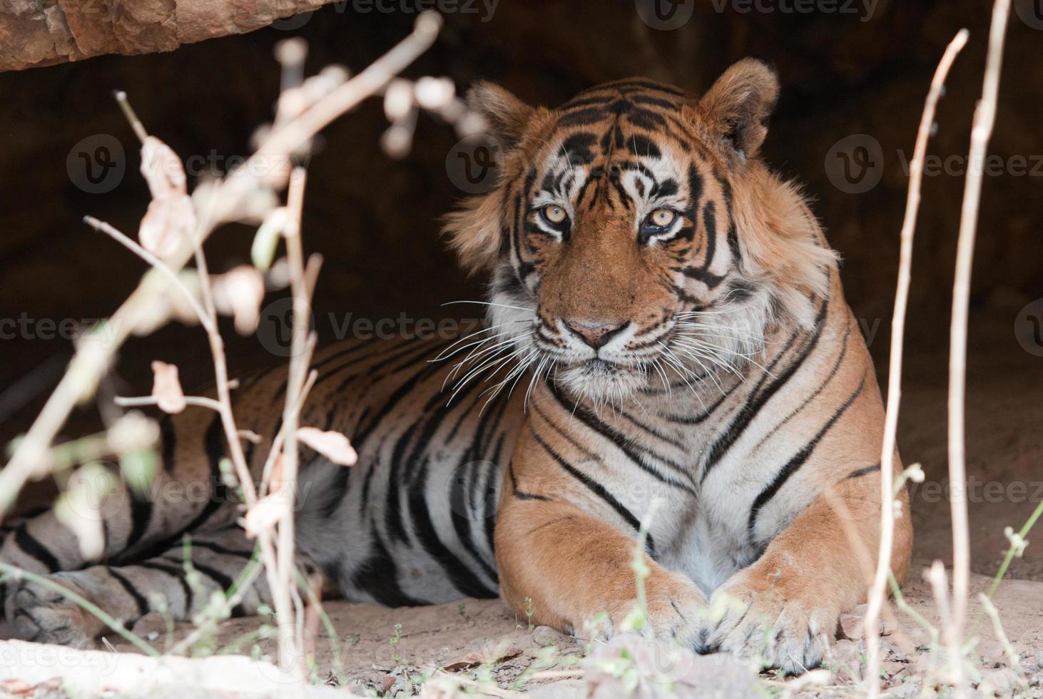 tigre de Bengala masculino deitado em uma caverna foto