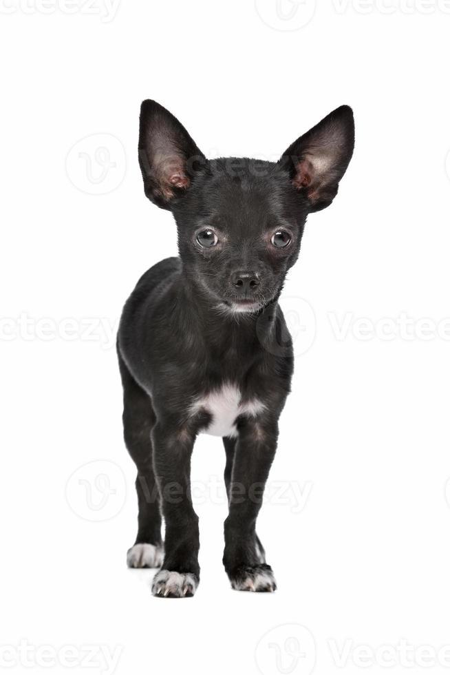 cachorro chihuahua preto e branco foto