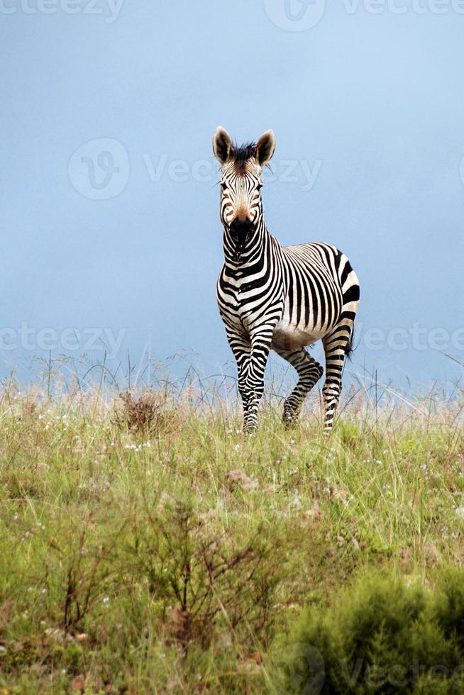 zebra graciosa foto