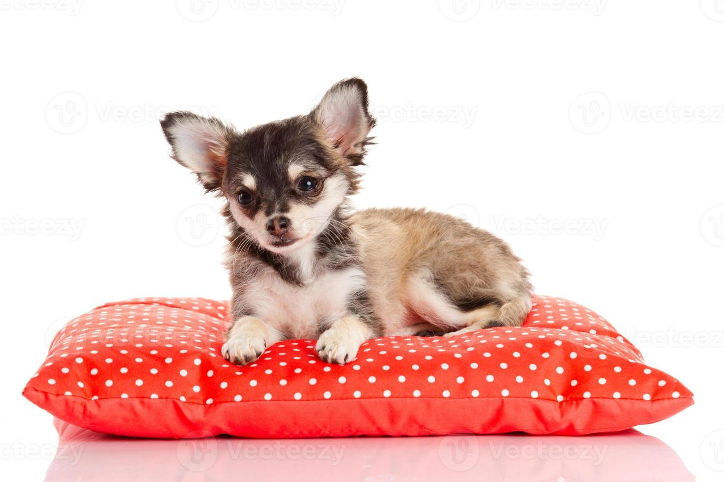 cachorro chihuahua no travesseiro vermelho foto