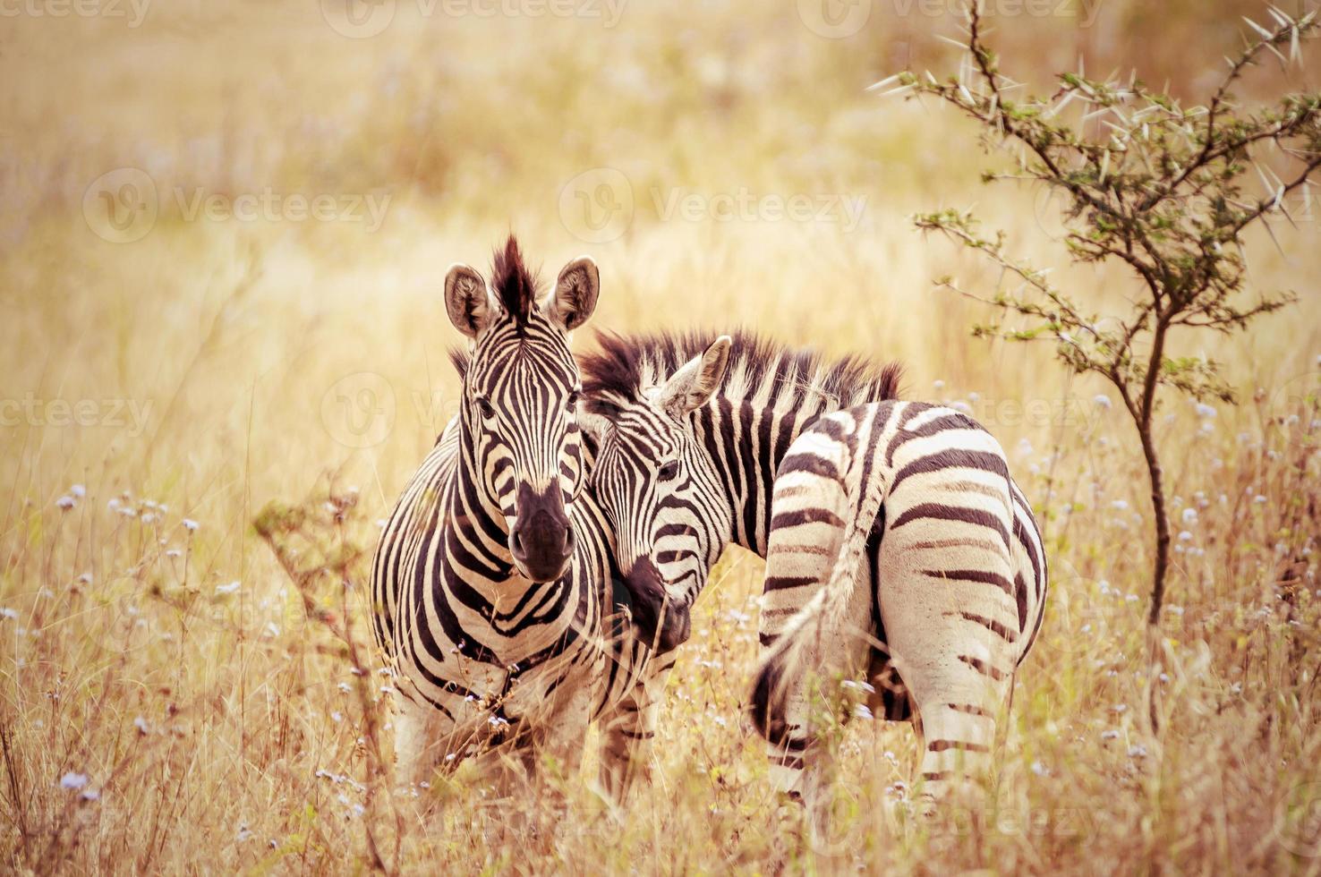 amor no mundo da zebra, áfrica do sul foto