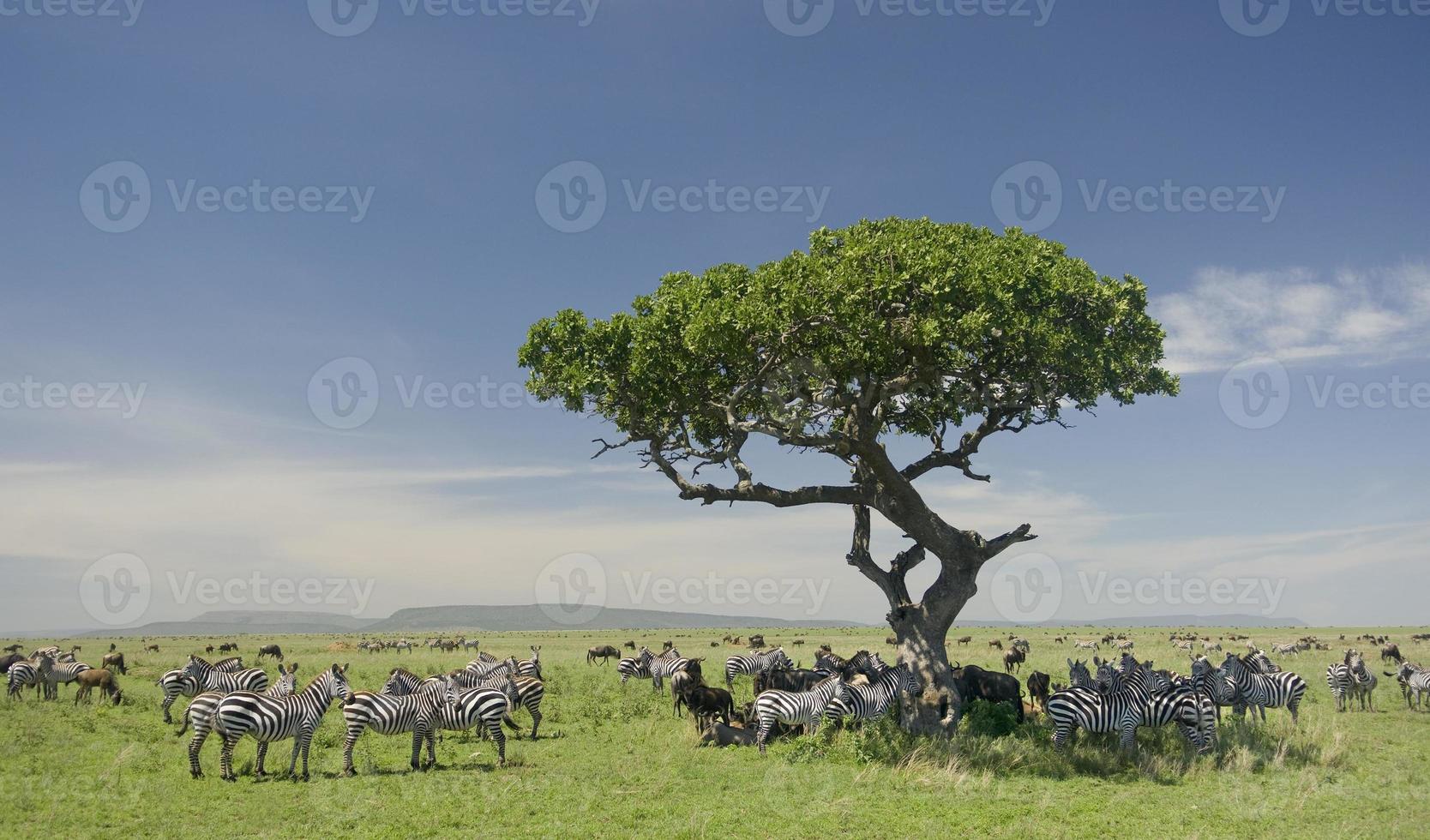 rebanho de zebra no serengeti foto