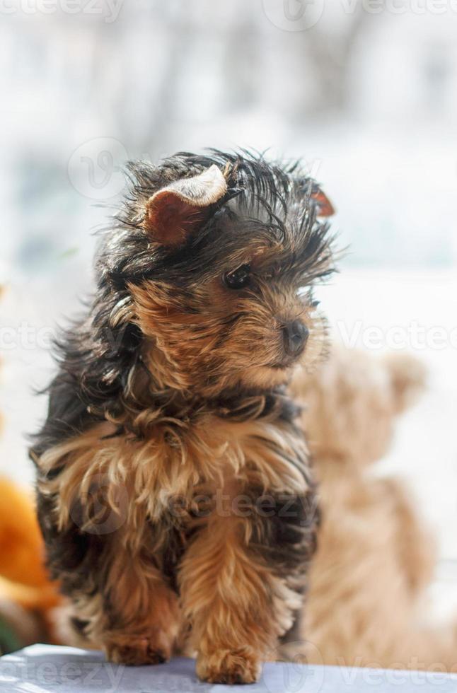 filhote de yorkshire terrier 2 meses foto