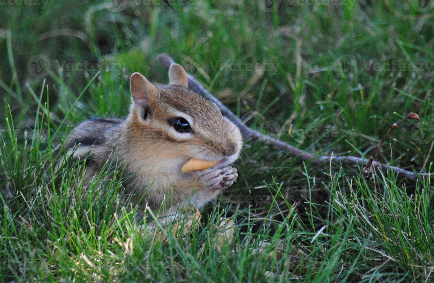 esquilo atento foto