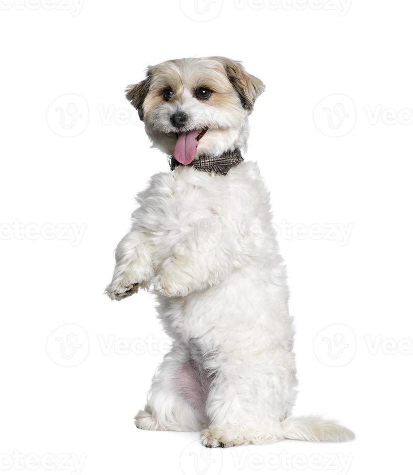 cão de raça misturada entre bichon e jack russell foto
