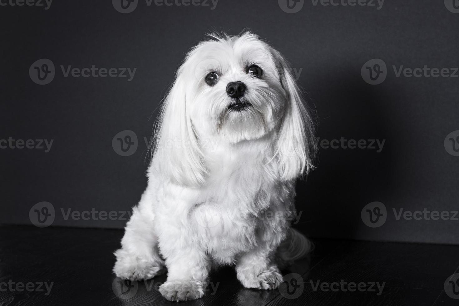 cão maltês foto