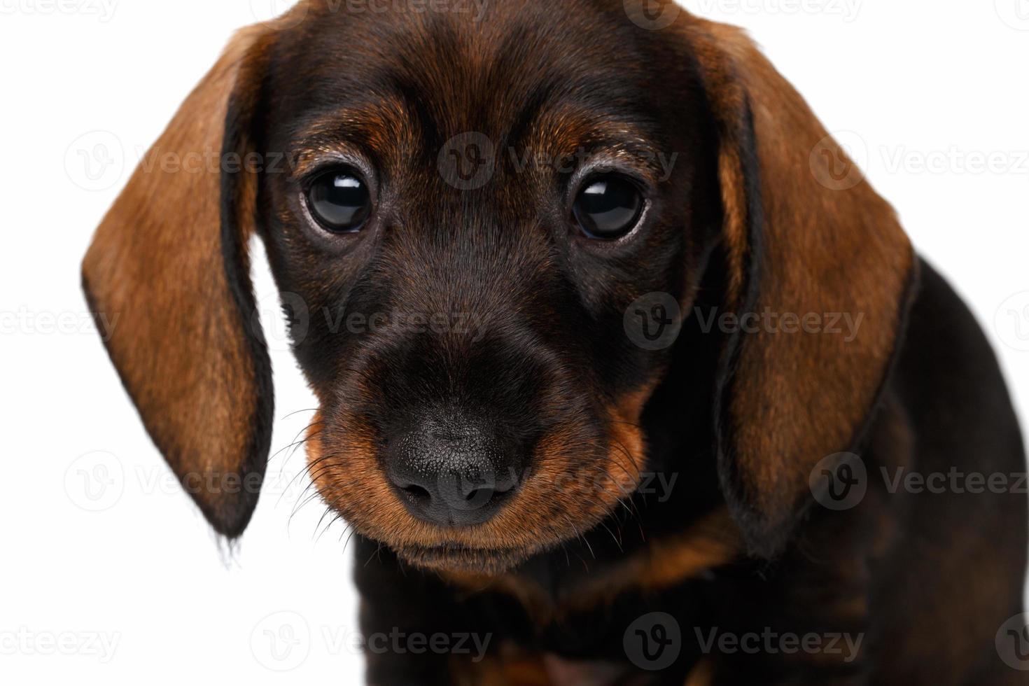filhote de cachorro bassê foto