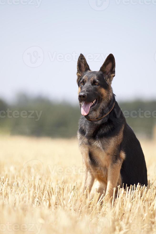 cão shepard alemão sente-se no campo foto