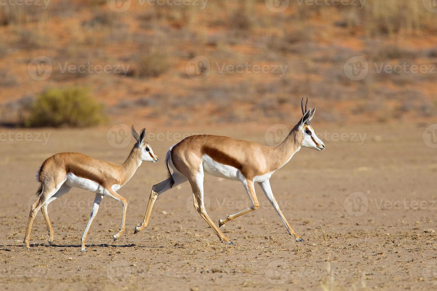 mãe da gazela e trote da jovem corça foto