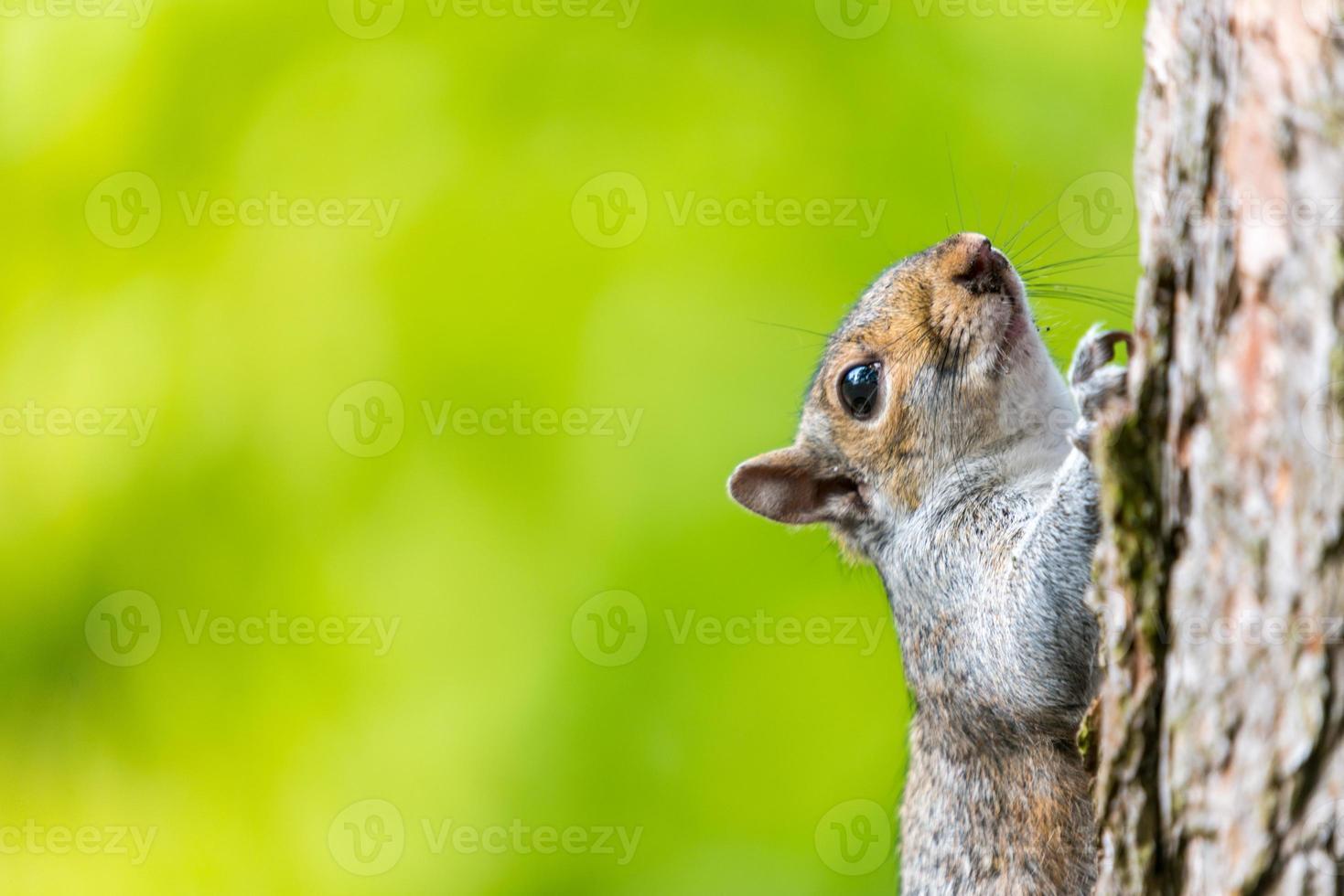 esquilo escalando árvore foto